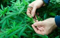 rccm-marijuana1
